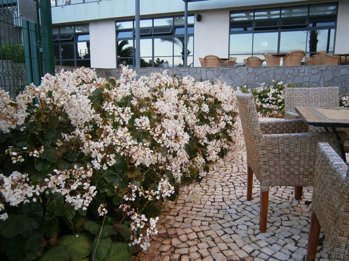 Begonia low P1230143